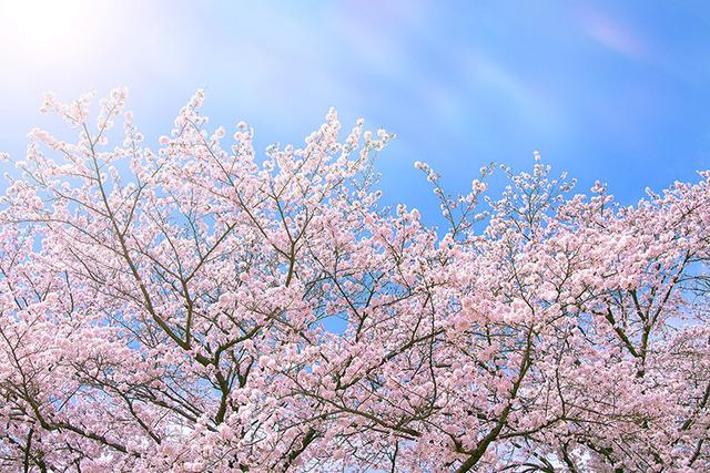 cherry-blossom_00014[1].jpg
